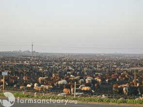 Cow Feedlot