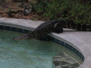 Pool Gator