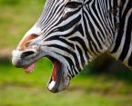 The Zebra is a Perfect Jewel