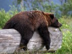 Sleepy Grizzly Bear