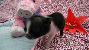 POT BELLY PIGS AND PIGLETS FOR SALE