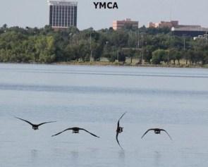 YMCA Geese