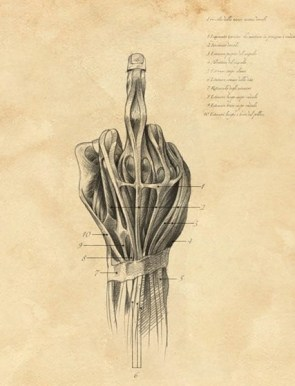 Finger anatomy