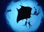 Divers With A Giant Manta Ray