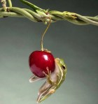 the cherry and the frog.jpg