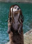 Otter Dreads