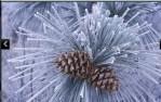 snowytrees (6).jpg