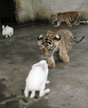 Tiger cubs VS bunnies