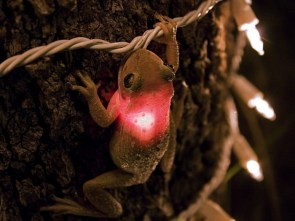 Cuban Tree Frog lit up for Christmas