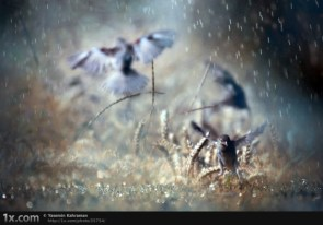 Birds dancing in the rain