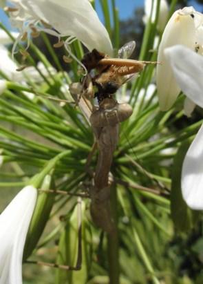 Praying Mantis vs Bee