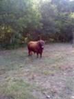 This bull got balls