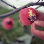 Apple in Japan