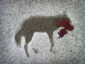 Haunting coyote roadkill silhouette