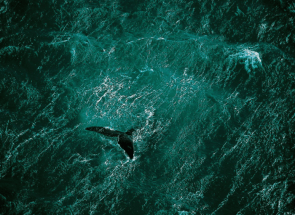 Whale swims off Valdes Peninsula