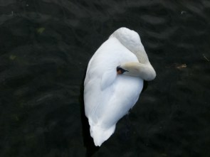 Galway Swans