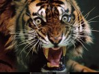 Tiger wallpapers ROWR!