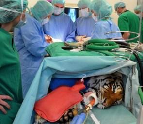 Tiger surgery