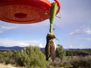 Green Death!  Mantis vs Hummingbird
