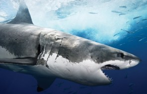 Great White Wallpaper