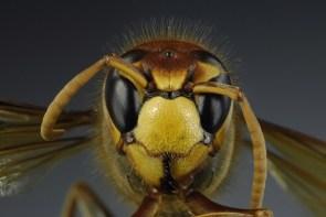 Head on Wasp