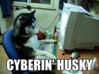 Cyberin' Husky