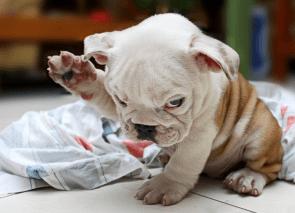 Hitler puppy