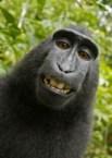 Macaque Monkey Self Portrait