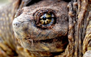 upclose turtle