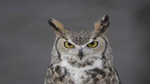 orly owl