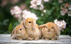 rabbit trio
