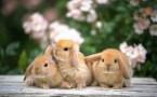 rabbit trio