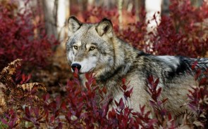 wolf among red leafs