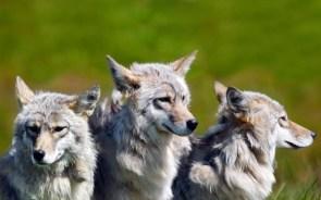 3 wolf field