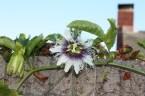 Passiflora Edulis – Black Knight