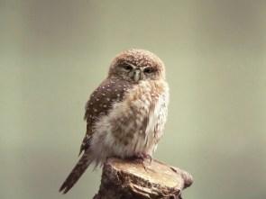 """fuck"" owl"