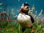 midget penguin