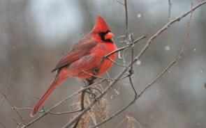 red finch on branch