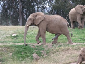 Two Trunked Elephant