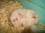 Hamster nap