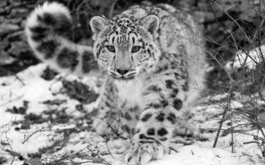 Snow Leopard wall