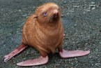 'Ginger' seal rejected by mum