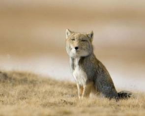 Serious Fox Is Serious