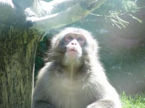 Macaque!