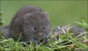 English Water Vole