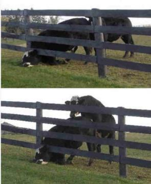 Cow Has A Bad Day