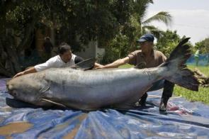 Giant Mekong Catfish
