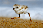 2-Day Old Piping Plovers