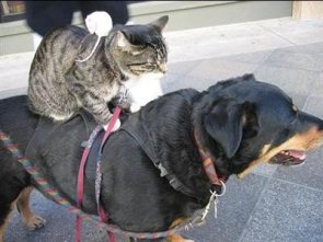 Mouse Riding a Cat Riding a Dog