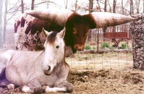 Giant Bull Horns